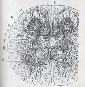 Manual de Histología normal de D. Santiago Ramón y Cajal 001 - copia